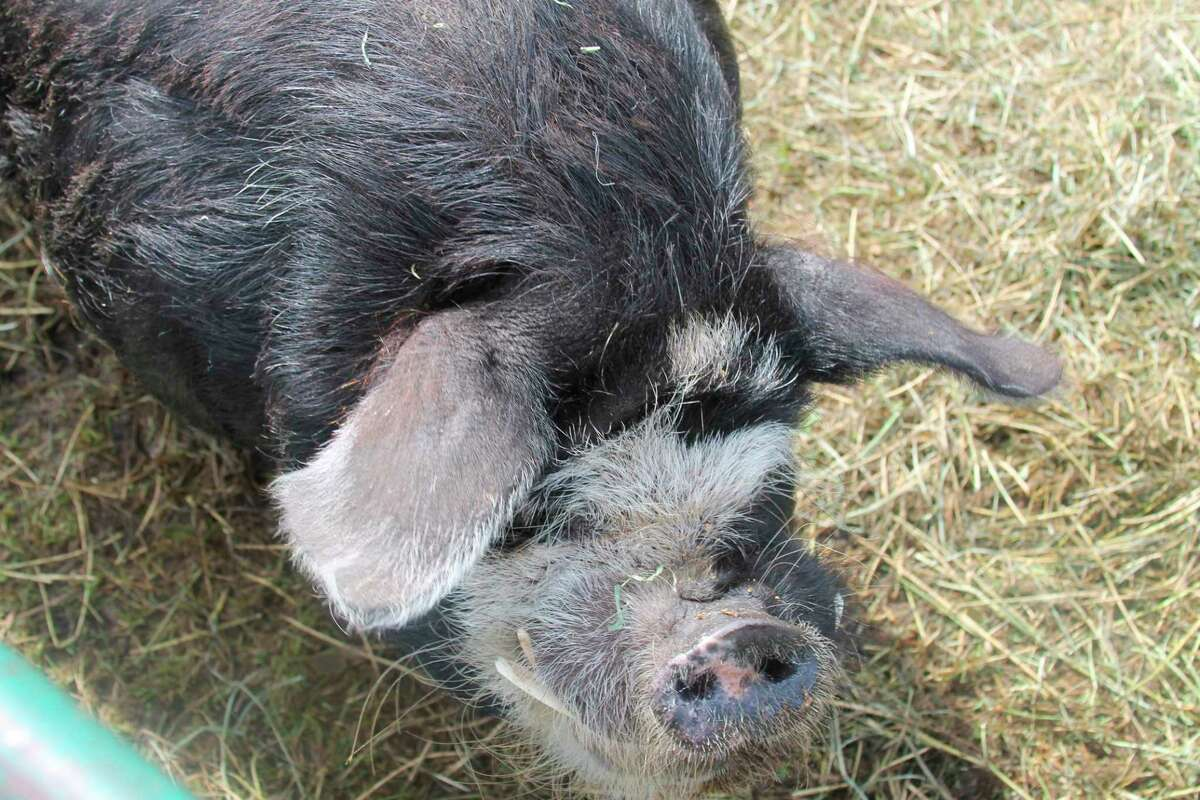 4-H animal exhibits are a large part of the Manistee County Fair, which runs Aug. 17-21. (File photo)
