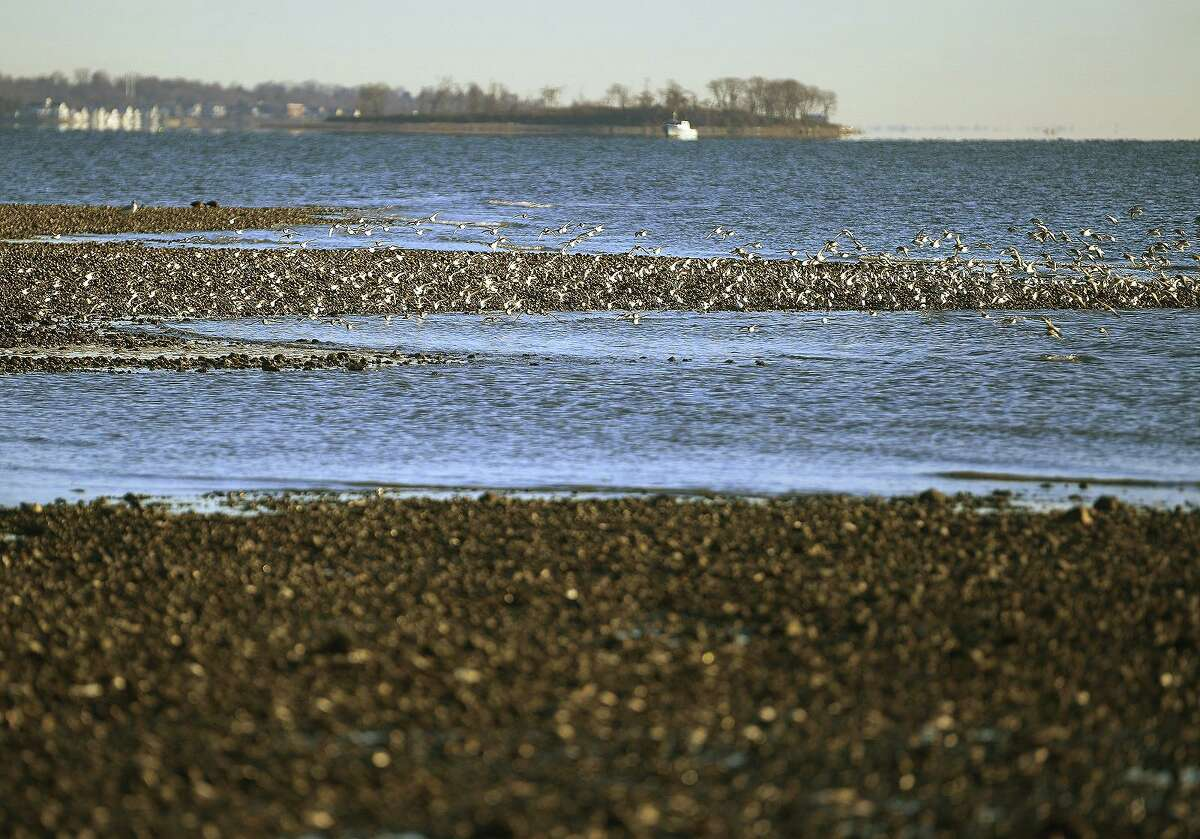 A flock of sandpipers feeds in the intertidal zone on Milford Point in Milford, Conn. in December, 2020.