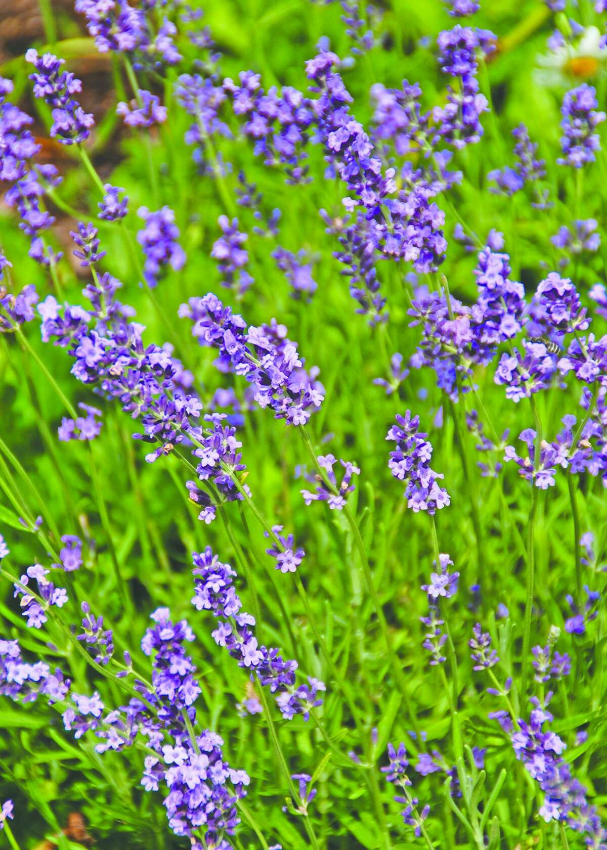 Lavender dries relatively quickly and retains the best color when dried in a low humidity, dark location.