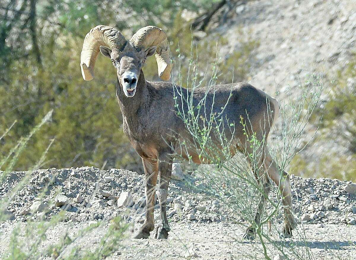 A desert bighorn sheep ram walks along the road on the east side of the Gila Main Canal, moments after coming down from the hills for a drink of water from the canal northeast of Yuma, Ariz., Thursday morning, July 29, 2021. (Randy Hoeft/The Yuma Sun via AP)