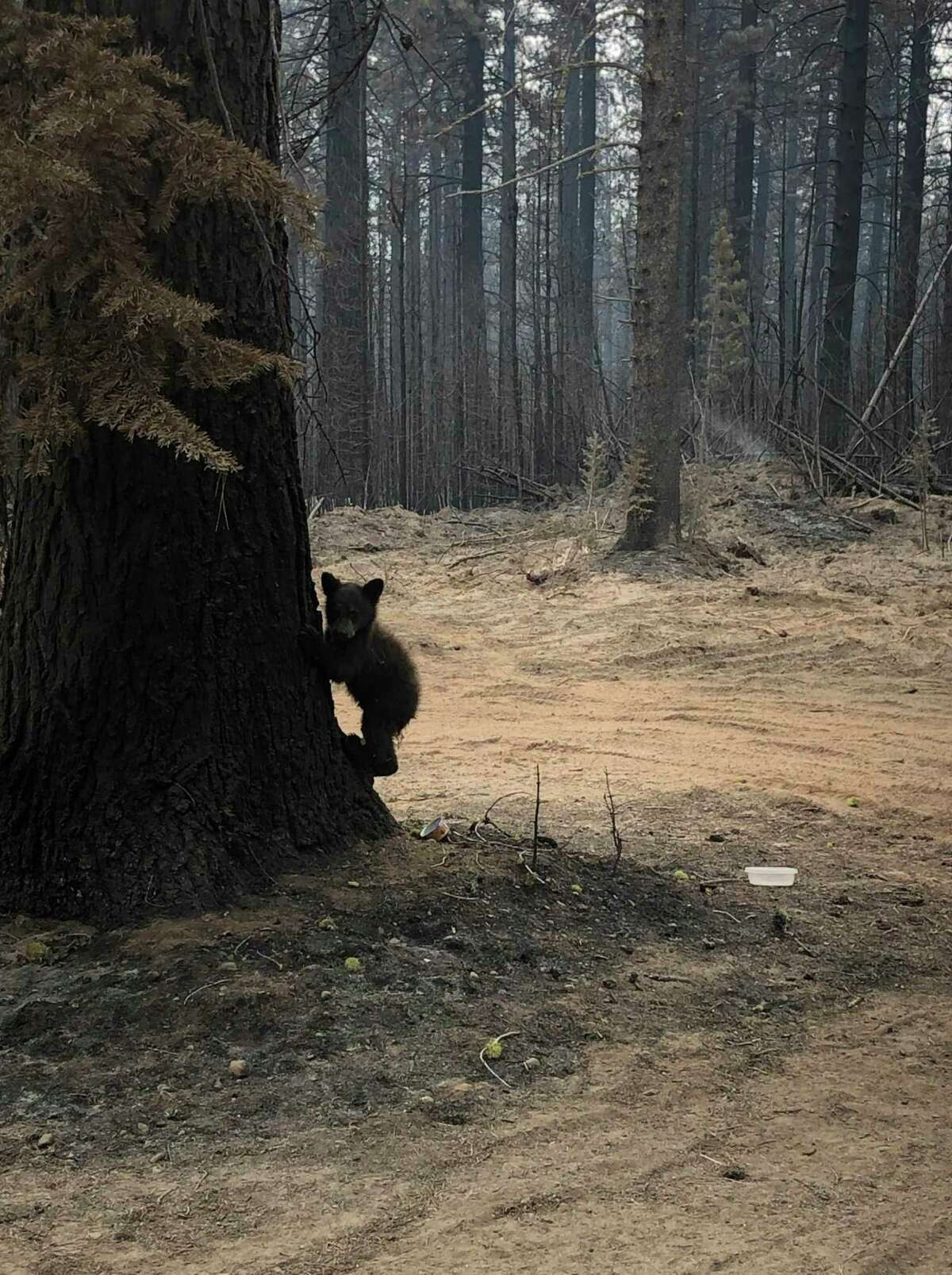 A young bear was rescued from the Antelope firefighters and is being treated for burns to its paws and nose.