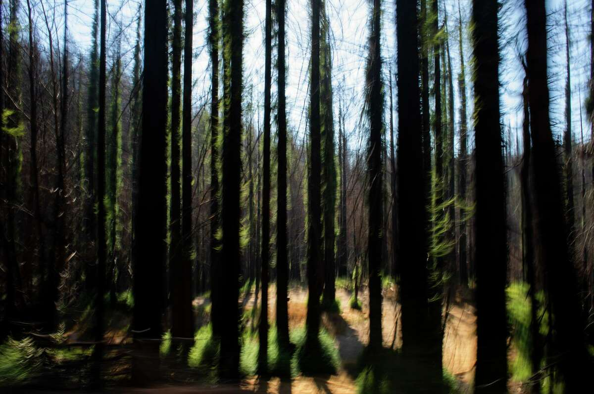 New growth appears on redwoods burned in last year's CZU Complex in Davenport (Santa Cruz County).