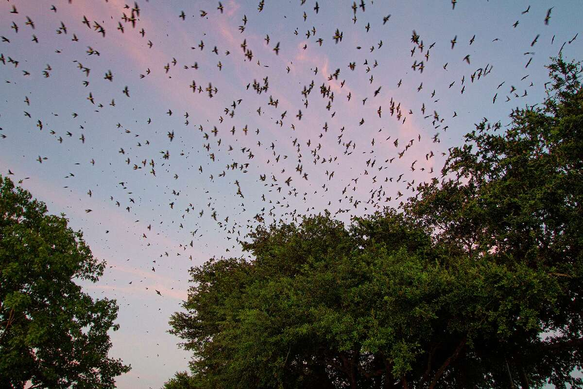 Thousands of purple martins are gathering in the trees at sunset around Willowbrook Mall. Witness this annual spectacle now through mid-September. Photo Credit: Kathy Adams Clark. Restricted use.