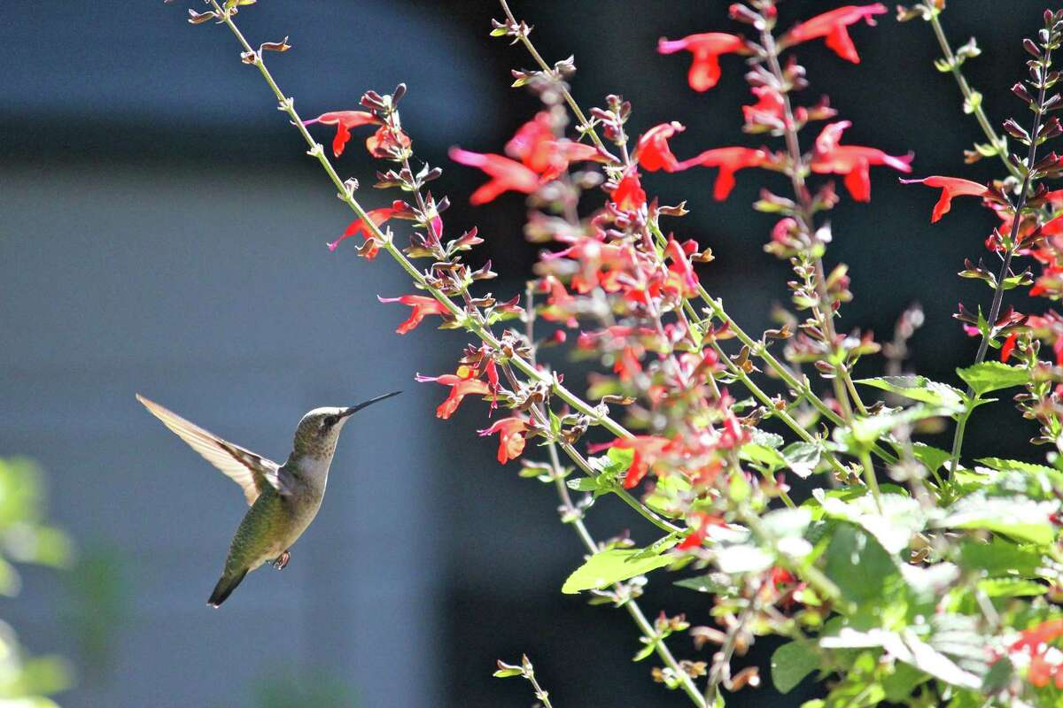 One of the most frequently visited plants by this ruby-throated hummingbird is Scarlet sage (Salvia coccinea.) Deadheading is recommended for control.