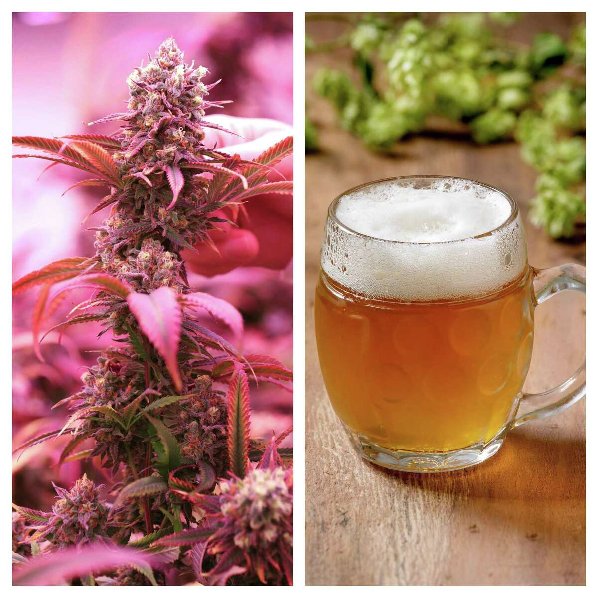 A marijuana bud (left) is pictured next to a mug of beer. (Photo courtesy of Getty Images)