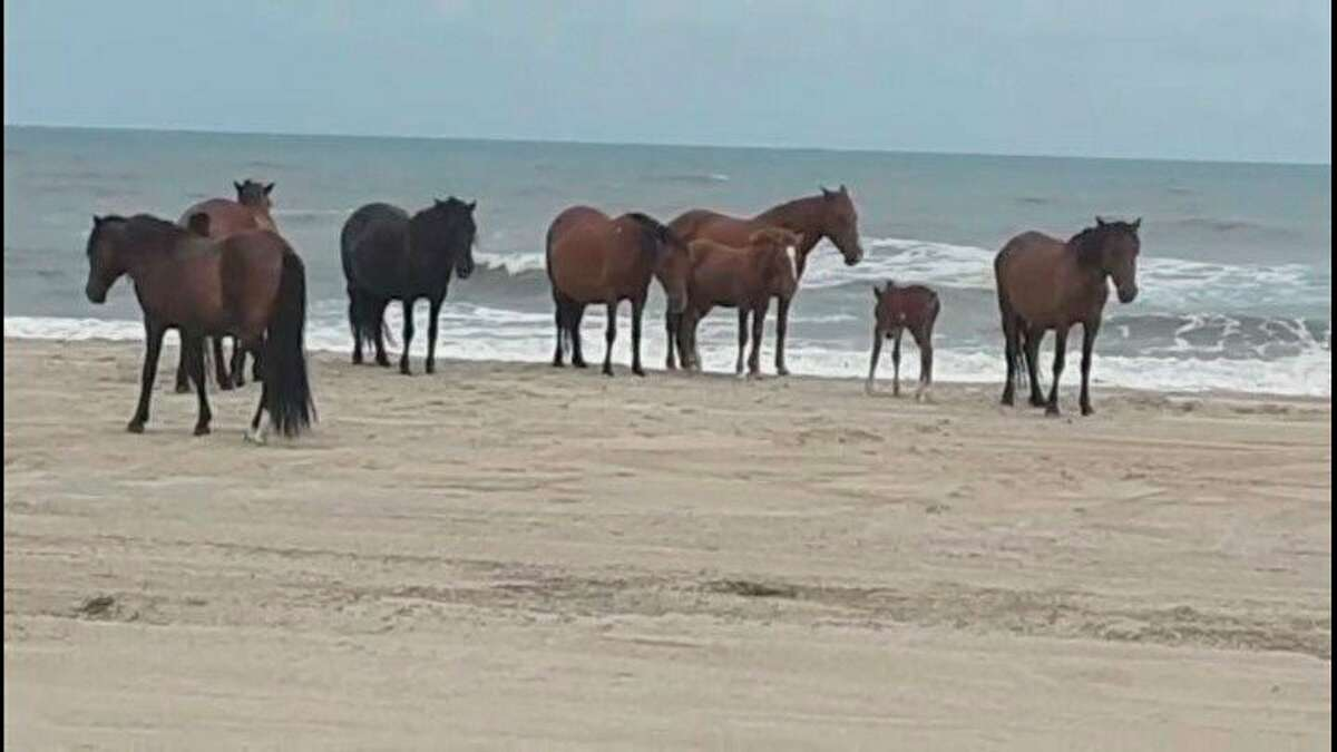 On the Eicher family's trip to North Carolina, theyhad the opportunity to see the wild horses on the beach. (Courtesy photo)