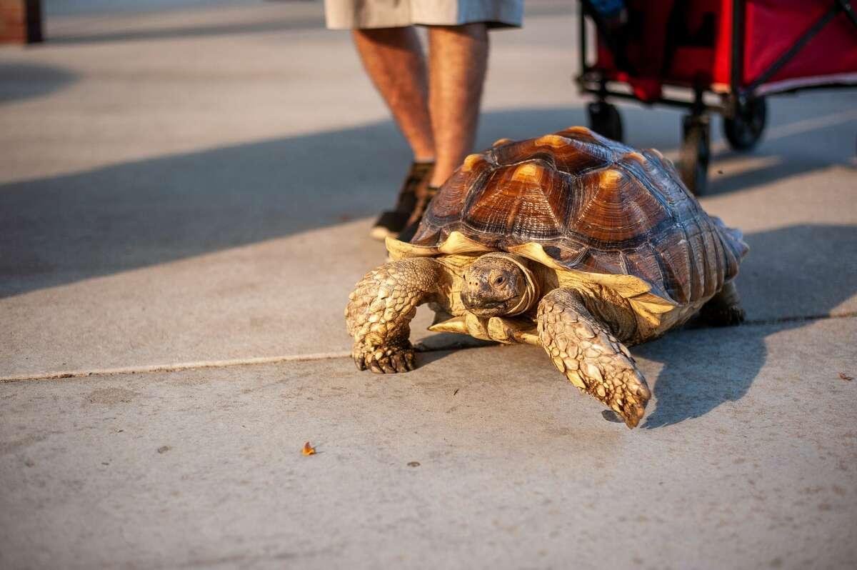 Bruce the tortoise walks near the Tridge in Midland on Aug. 4, 2021.