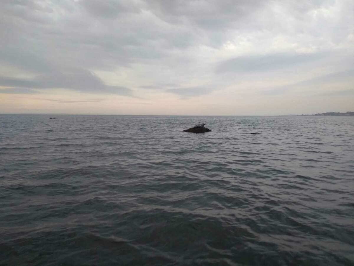 A seal spotted in the area of Smith Reef in Long Island Sound near Stamford.