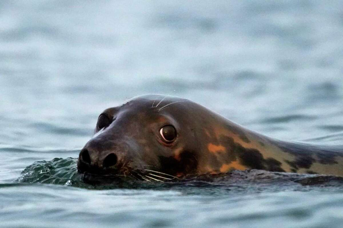 A gray seal, like this one off the coast of Maine in 2020, has been spotted recently in Long Island Sound.