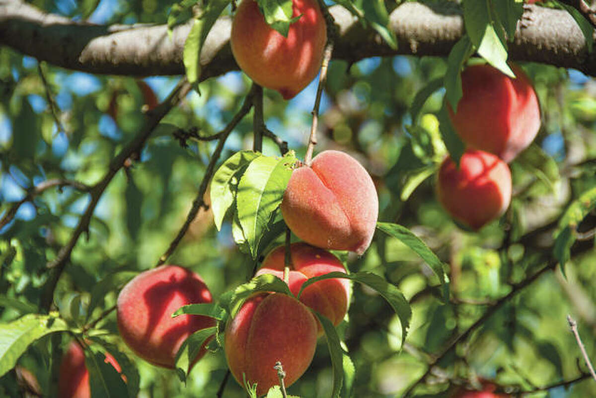 Most of the peach production in Illinois occurs in central and southern Illinois, as most varieties are not winter hardy to survive cold winter temperatures in northern Illinois.