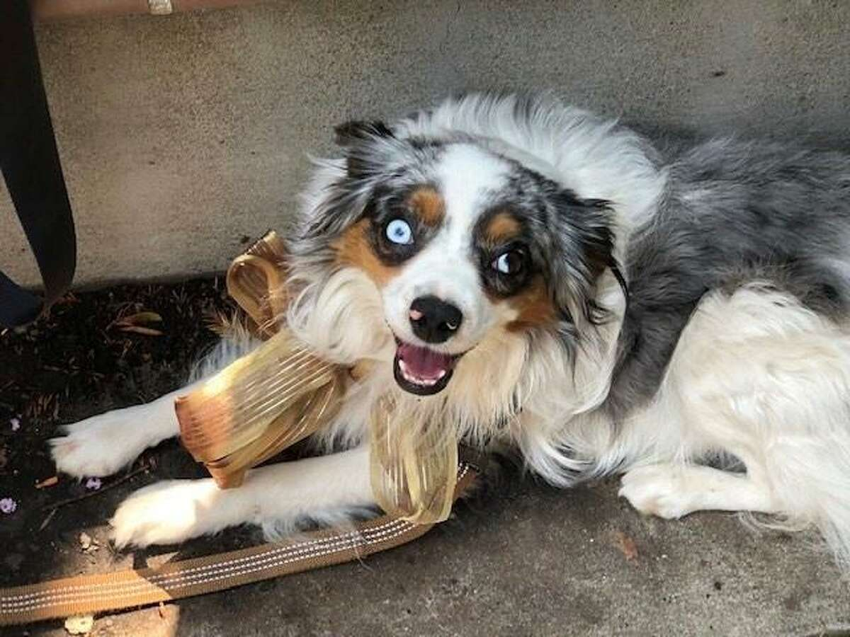 Bowie, a toy Australian shepherd, was stolen at a Safeway Los Gatos on Aug. 6 and has been reunited with his owner.