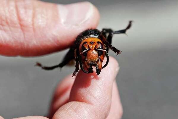An Asian giant hornet, or Murder Hornet.