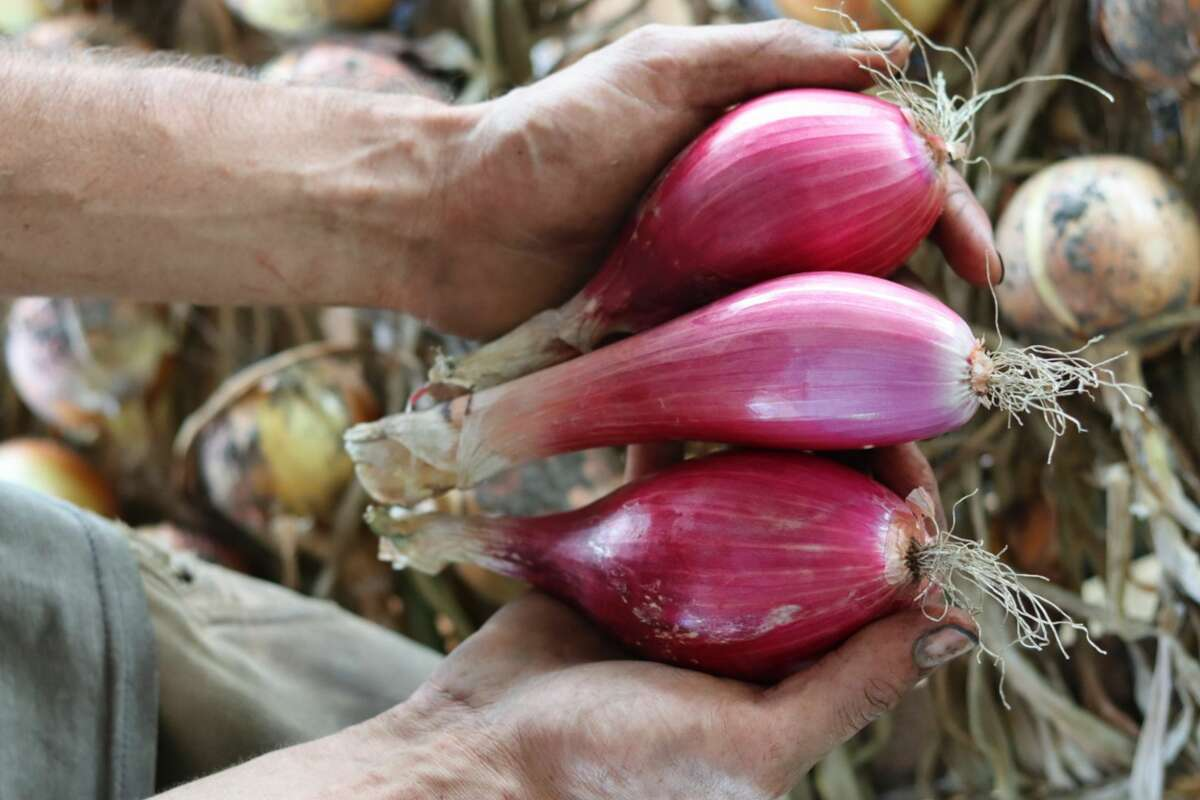 Tropea onions from Edible Uprising Farm in Troy.