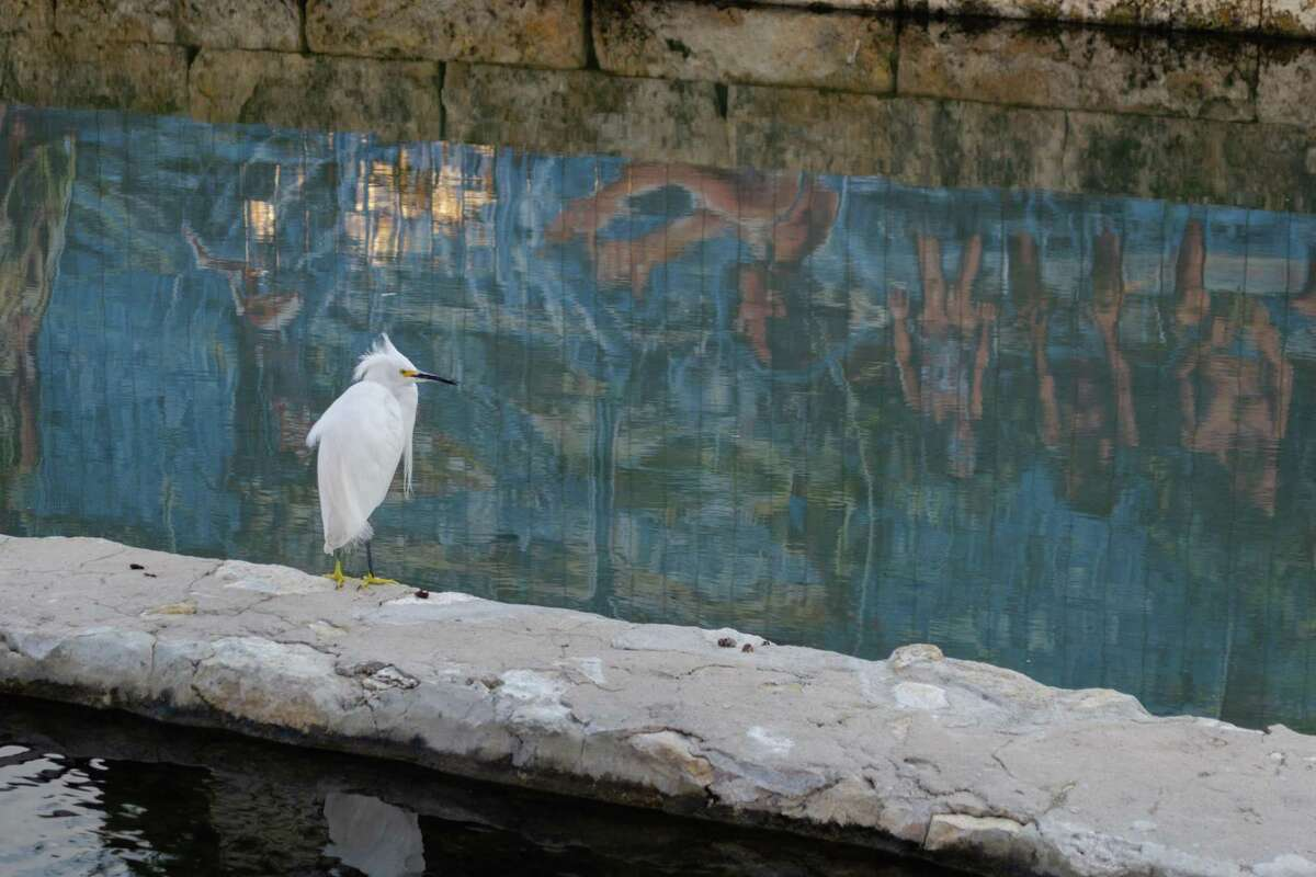 A snowy egret on the San Pedro Creek Cultural Park downtown. Downtown San Antonio's bright nighttime lights often claim migratory birds' lives.