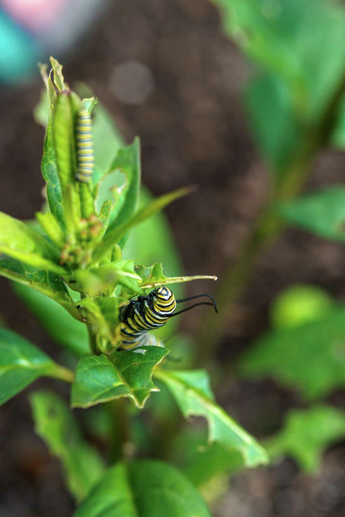 This monarch butterfly caterpillar is feeding on milkweed.