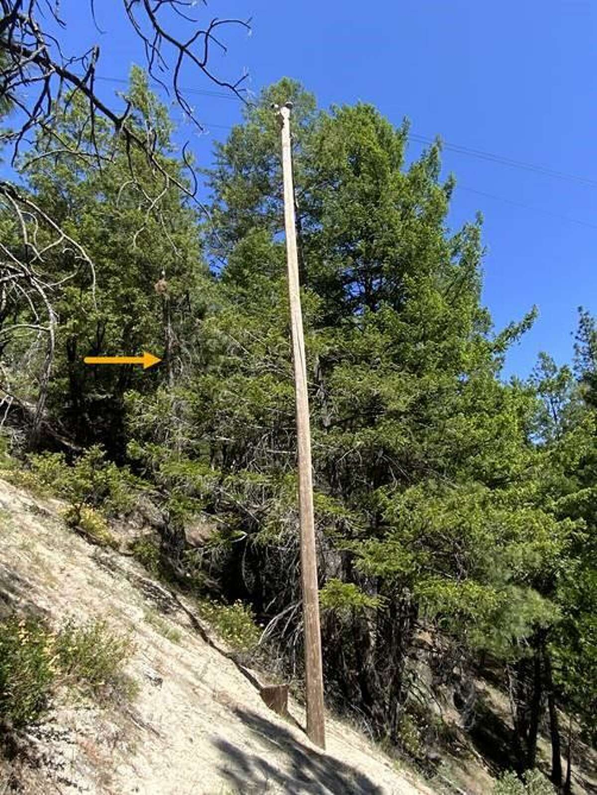 A PG&E photo of a Douglas fir tree that is suspected of starting the Dixie Fire.