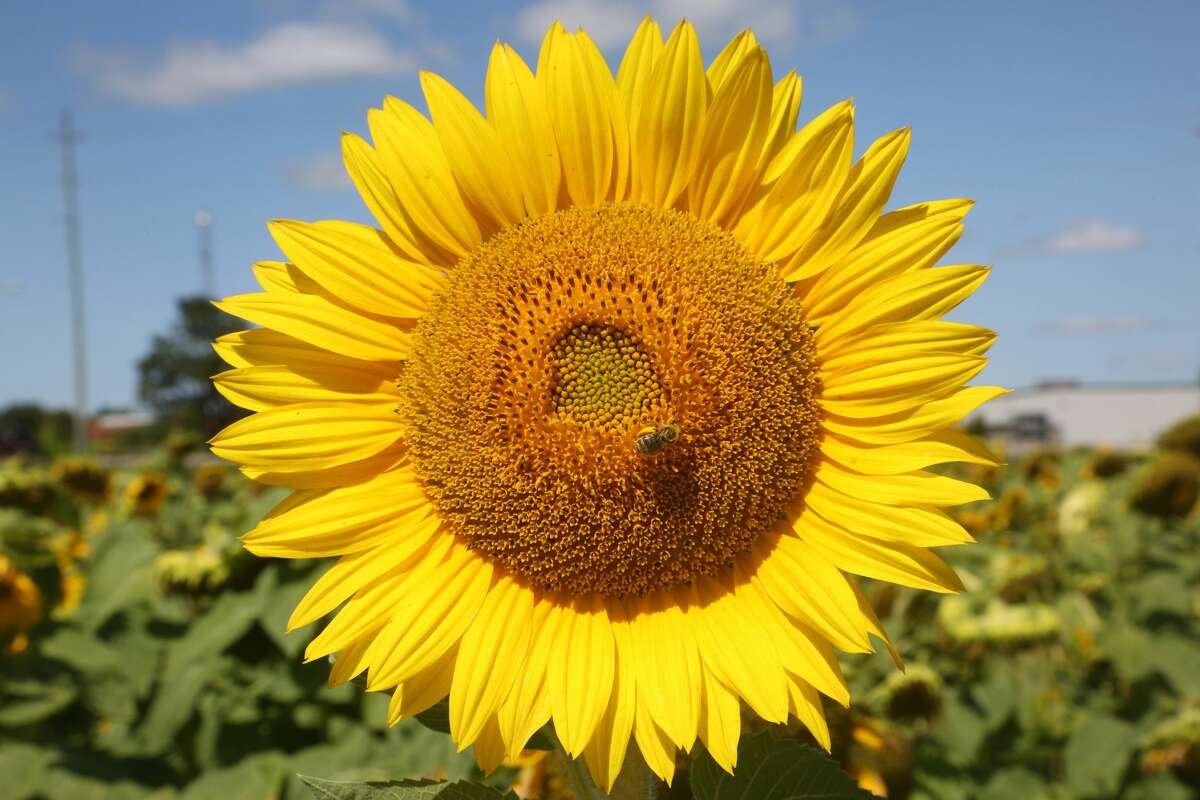Close-up of a Sunflowerin Markham, Ontario, Canada, on Aug. 14, 2021. (Photo by Creative Touch Imaging Ltd./NurPhoto via Getty Images)