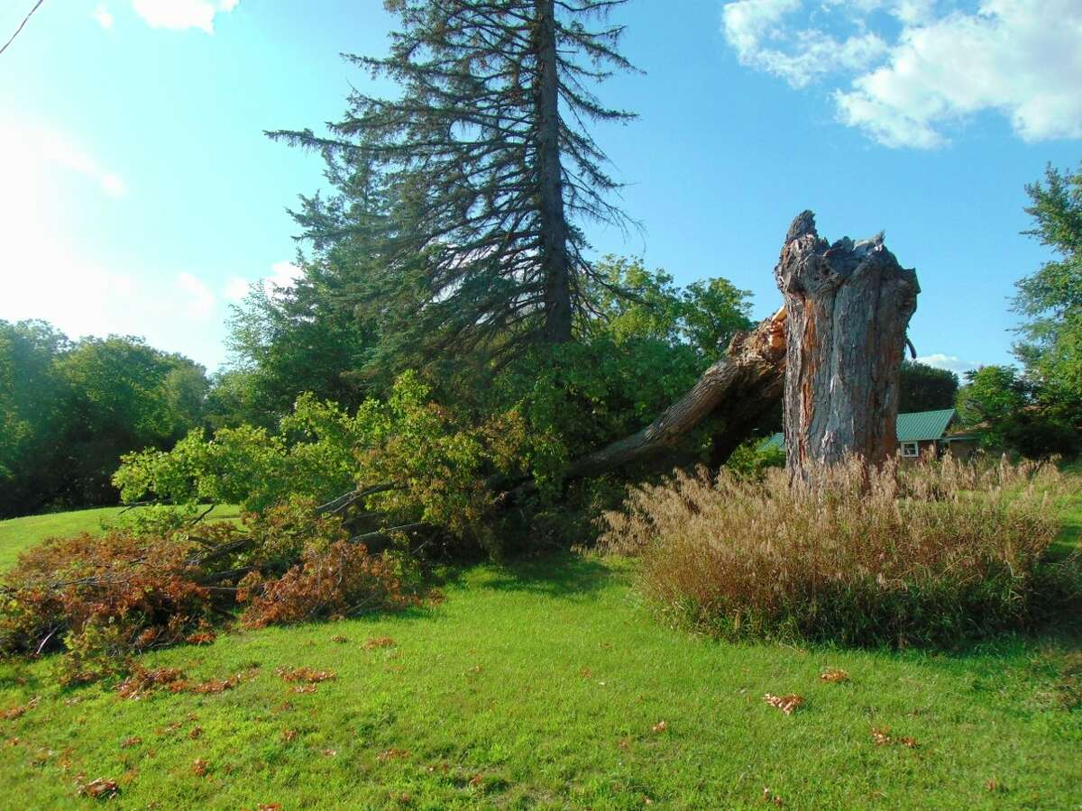 Many trees crashed down froma recent storm, including this large maple which was on the property of the first church in Lake County, the Chase Congregational Church. The tree also likely survived the Chase fire which took place almost 130 years ago. (Star photo/Shanna Avery)