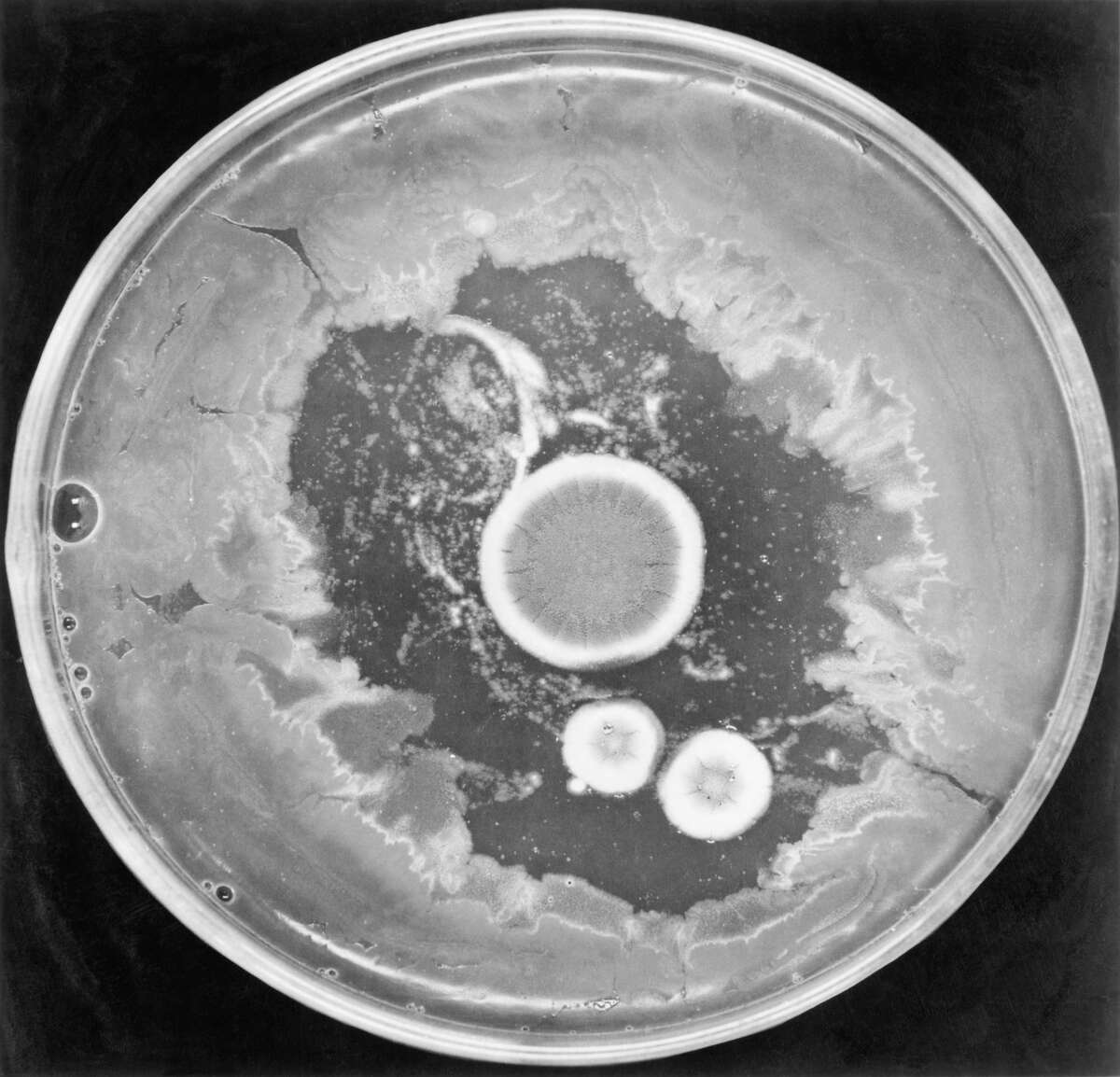 Colonies of Penicillium notatus, showing surrounding zone of bacterial inhibition. This is the phenomenon noted by Alexander Fleming in 1929, which led to his discovery of Penicillin. (Getty Images)