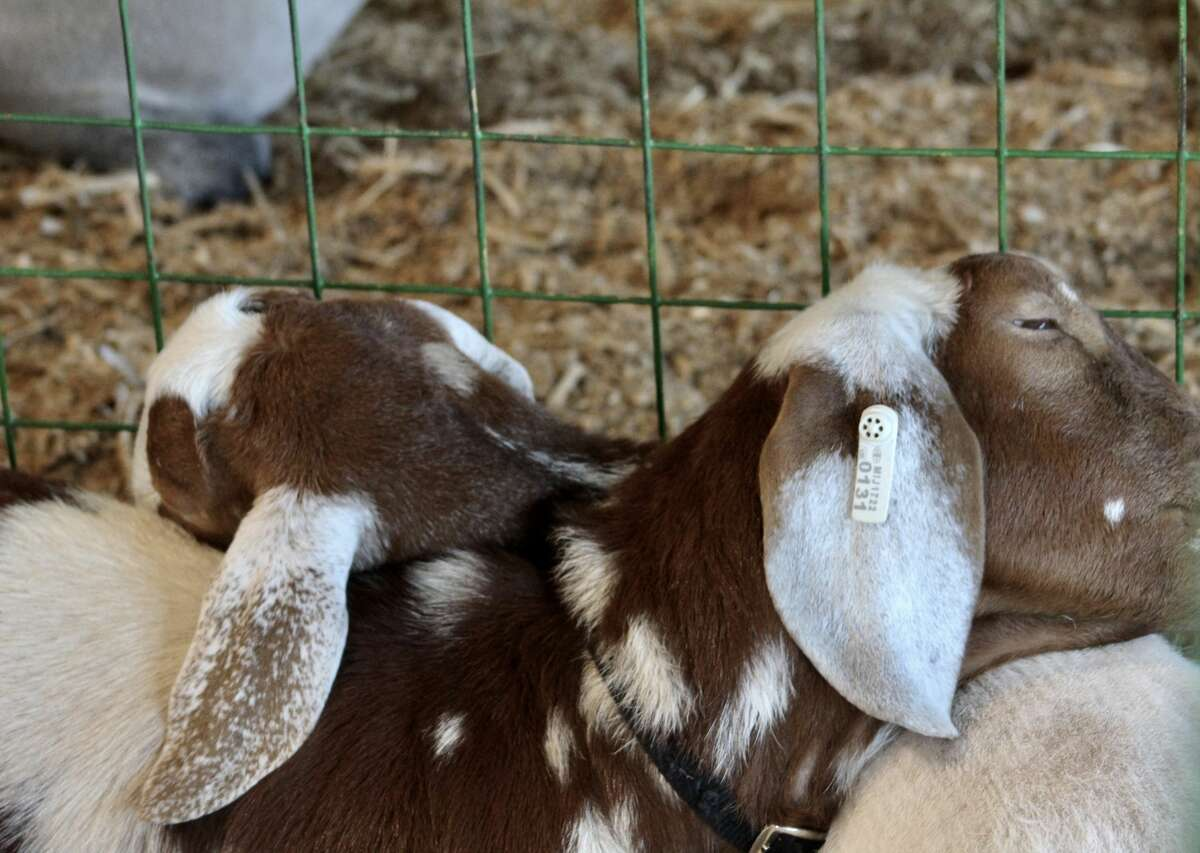Boer goats, Tilly and Cricket, are being shown by Madalyn and Cassidy B. at the Manistee County Fair this week.
