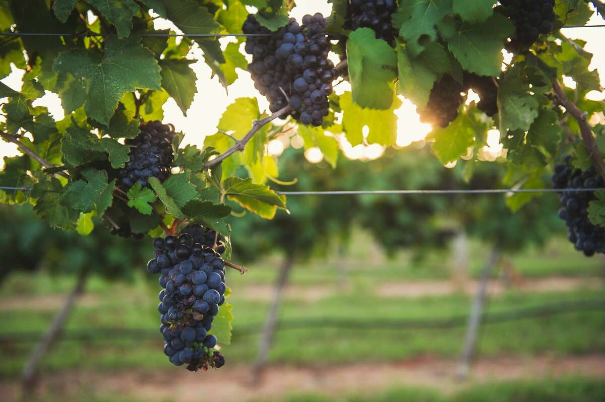 Grapes on the grow in Texas Wine Country.
