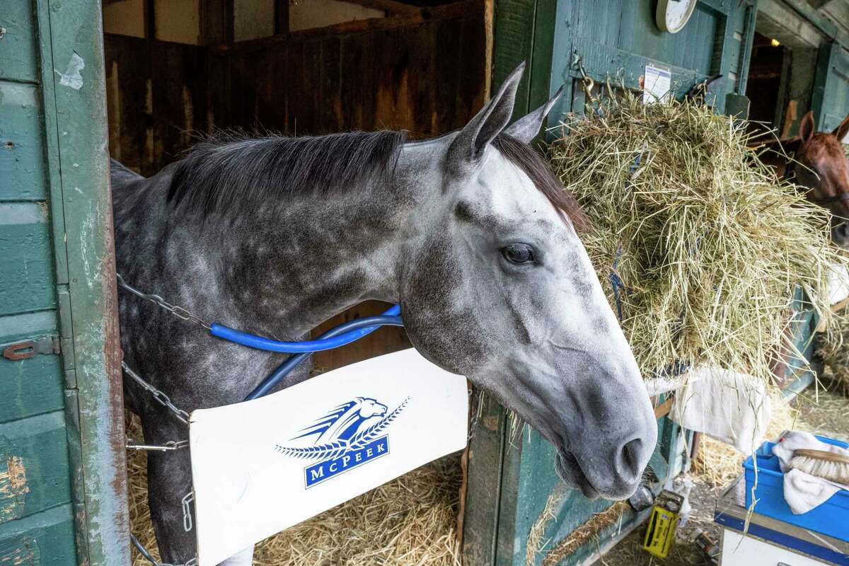 Crazy Beautiful relaxes in her stall at the annex to the Oklahoma Training Center at Saratoga Race Course on Wednesday, Aug. 18, 2021, in Saratoga Springs, N.Y. Crazy Beautiful is one of seven set to run in the Alabama on Saturday.