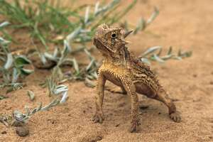 Behaviorial thermoregulation by a Texas horned lizard, with body elevated above hot sand, Phrynosoma cornutum, Rio Grande Valley, Hidalgo County, Texas, USA, (Photo by Wild Horizons/Universal Images Group via Getty Images)