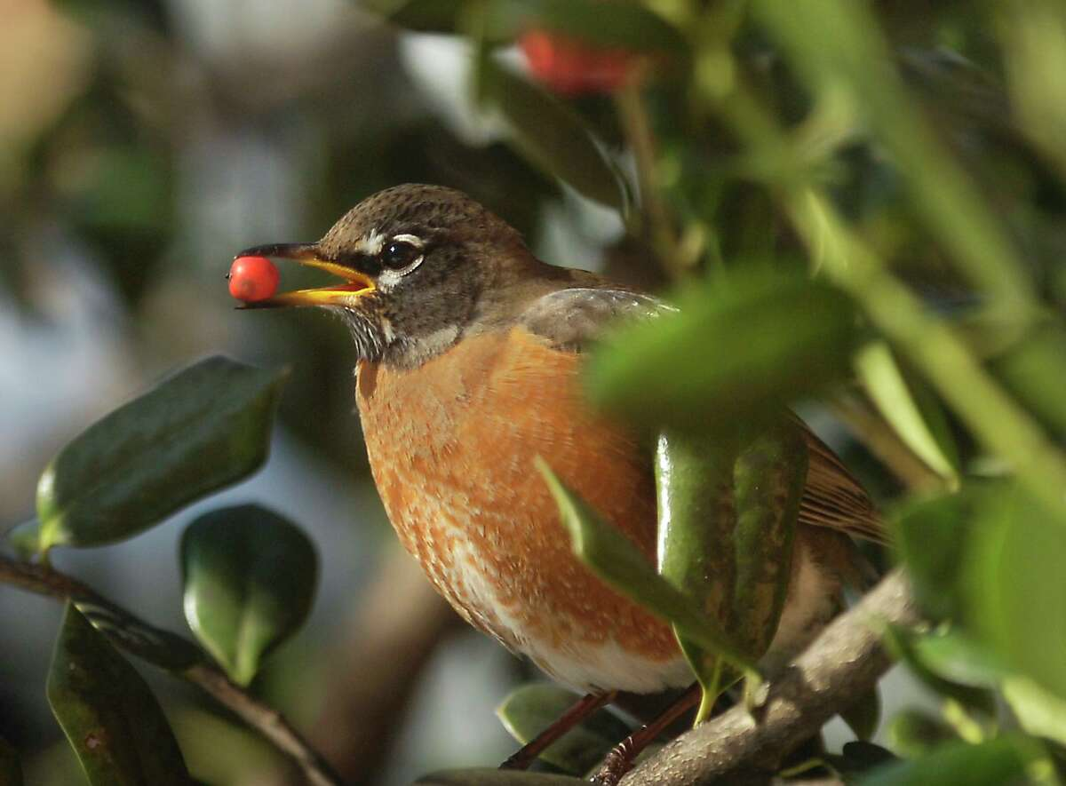 An American robin holds a berry while perched in a tree in Stamford in 2010.