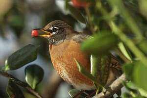 An American Robin pauses for a second before swallowing a berry while perched in a tree in the Riverbend Corporate Office Park, Stamford, Conn., Friday, Feb. 12th, 2010. The American Robin is a migratory songbird according to Wikipedia and when seen in February in the northeastern USA is considered one of the first signs of spring.