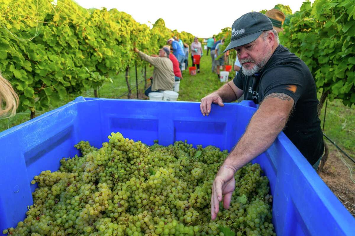 """John Rivenburgh, owner and winemaker for Kerrville Hills Winery said of this year's harvest """"Now that harvest is underway, it's nice to see the early season predictions bear fruit in the vineyards we work with. He's pictured her harvesting Semillon grapes."""