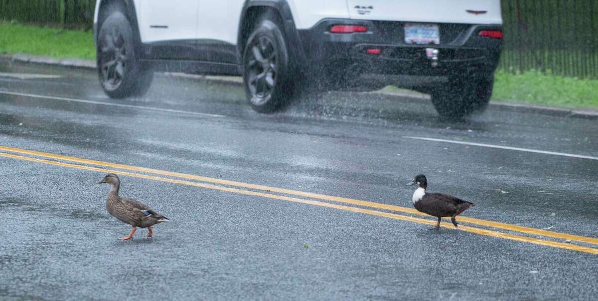 Heavy rain forces the ducks from the pond in Congress Park Thursday, Aug. 19, 2021, in Saratoga Springs, N.Y.