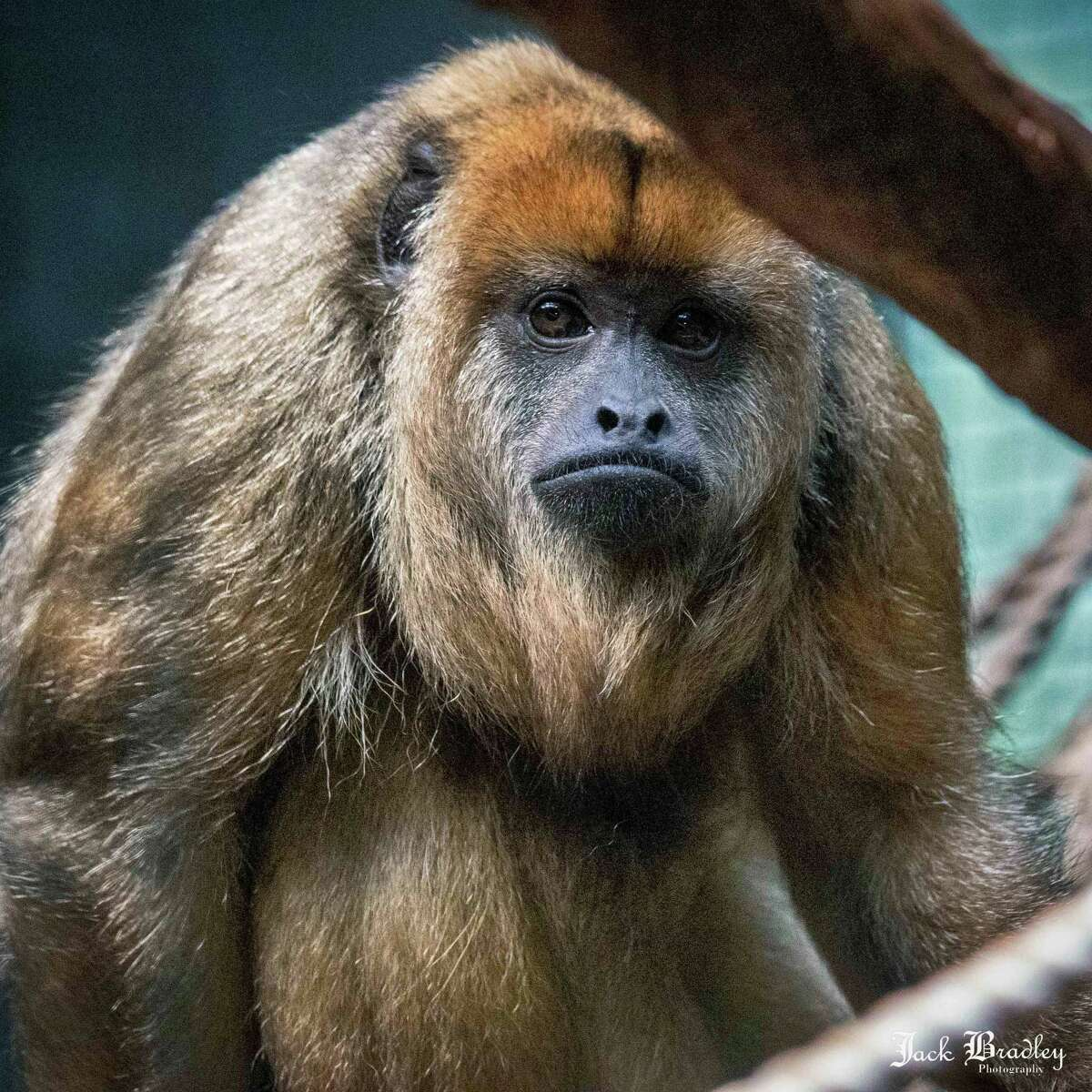 Two sister howler monkeys have moved from Texas to the Beardsley Zoo in Bridgeport, Conn., joining to the zoo's current howler monkey, Cain, who lost his two previous companions to old age.