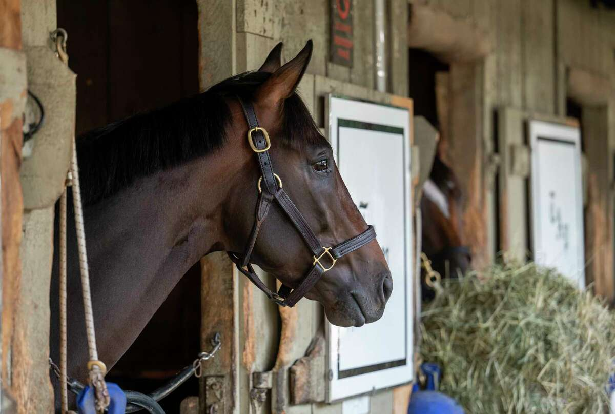 Life is Good checks out the barn area in the Todd Pletcher training stable at the Oklahoma Training Center at Saratoga Race Course on Sunday, Aug. 16, 2021, in Saratoga Springs, N.Y. He's scheduled to run in the H. Allen Jerkens on Aug. 28.