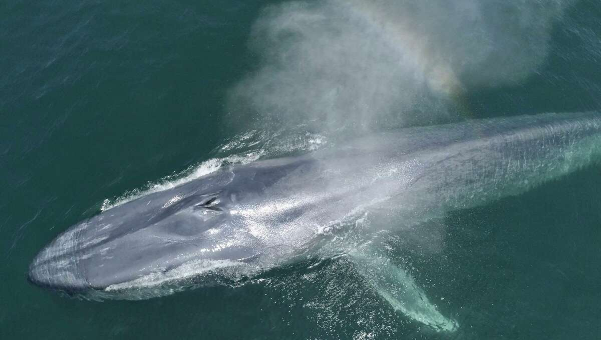 A blue whale in Monterey Bay.