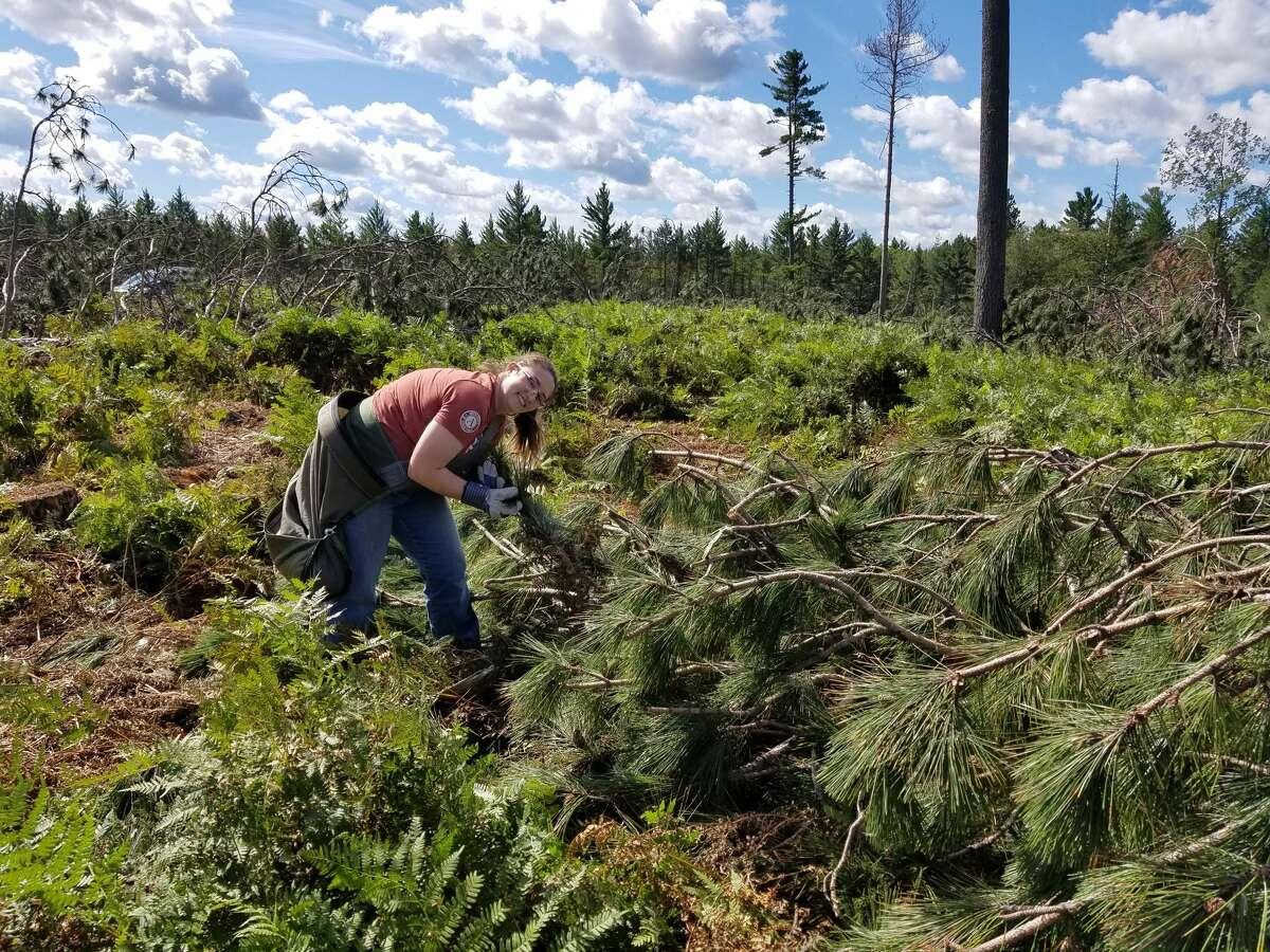 An AmeriCorps member picks ripe red pine cones.