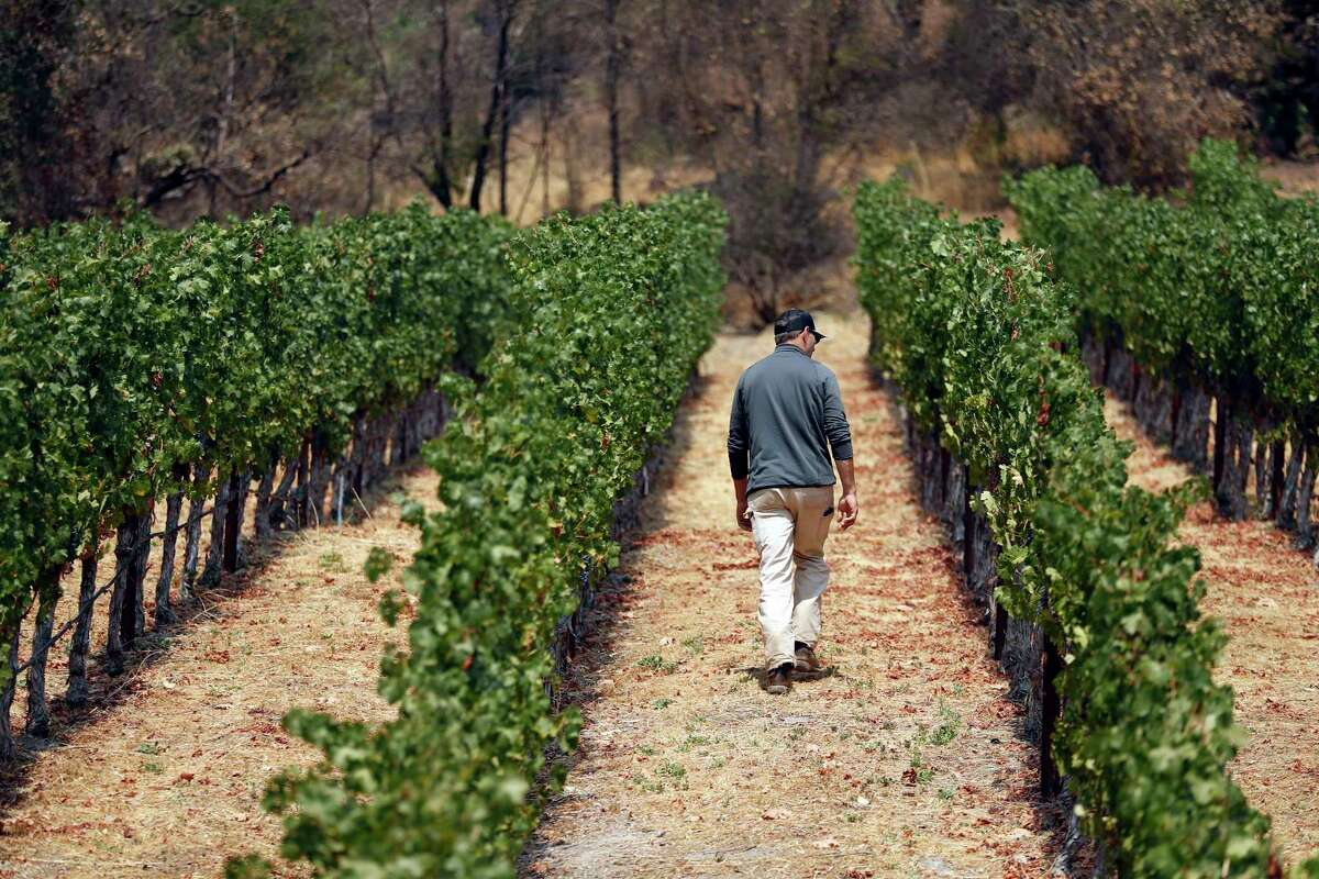 Vineyard operations manager Mike Rogers walks at Cakebread Cellars owned Dancing Bear Ranch vineyard on Howell Mountain in St. Helena, Calif., on Wednesday, August 18, 2021. After the Glass fire began in 2020, an electric fence at Dancing Bear Ranch was suspected by Cal Fire as a possible origin of the wildfire. Cakebread undertook an extensive investigation at its own expense which ultimately showed that the fire could not have started there.