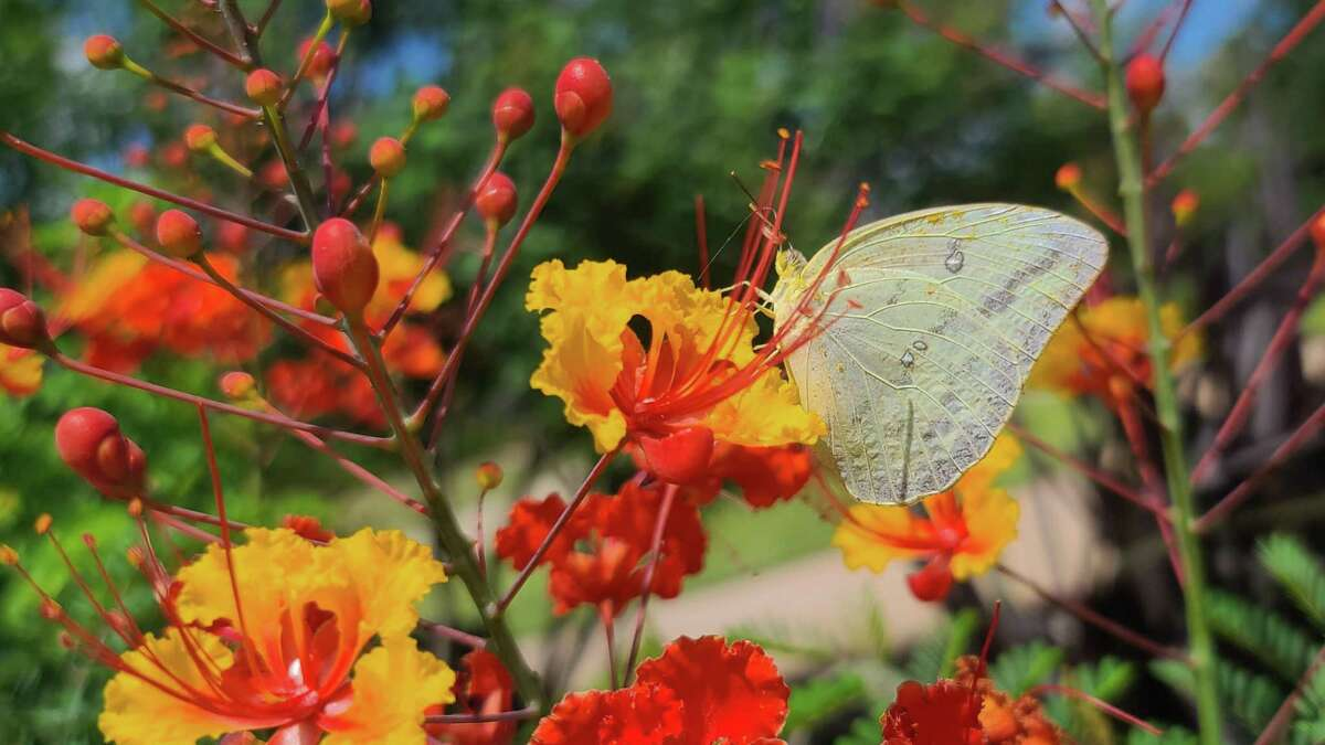 A large orange sulphur butterfly settles on a pride of Barbados (Caesalphinia pulcherrima) at the Leach Teaching Gardens at Texas A&M University.
