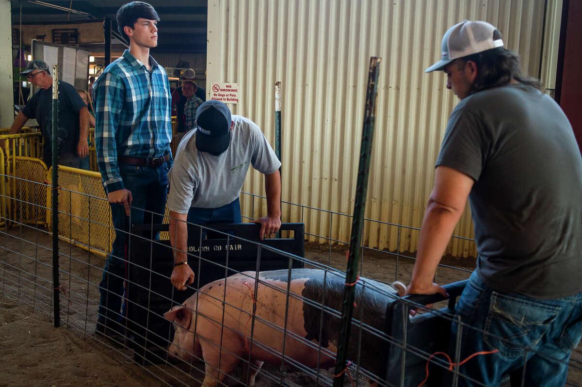 Joshua Nohel waits to show his hog during the Midland County Fair large animal auction Thursday, Aug. 19, 2021 at the Midland County Fairgrounds. (Katy Kildee/kkildee@mdn.net)