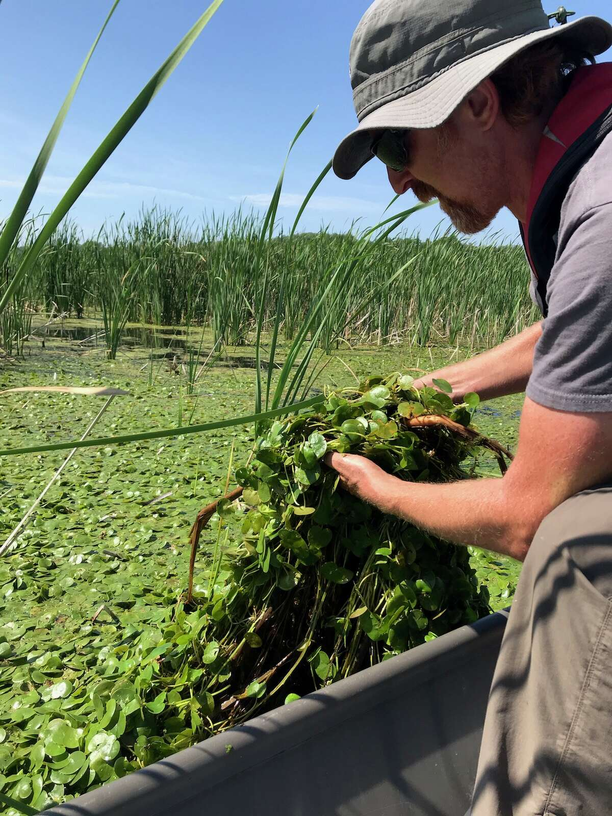 Michigan Department of Environment, Great Lakes and Energy aquatic biologist Tom Alwin removes European frog-bit from a backwater area in Pentwater River State Game Area.