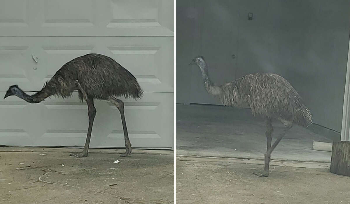 An emu is seen outside a resident's garage on Thursday, Aug. 19, 2021 in Roman Forest, Texas.