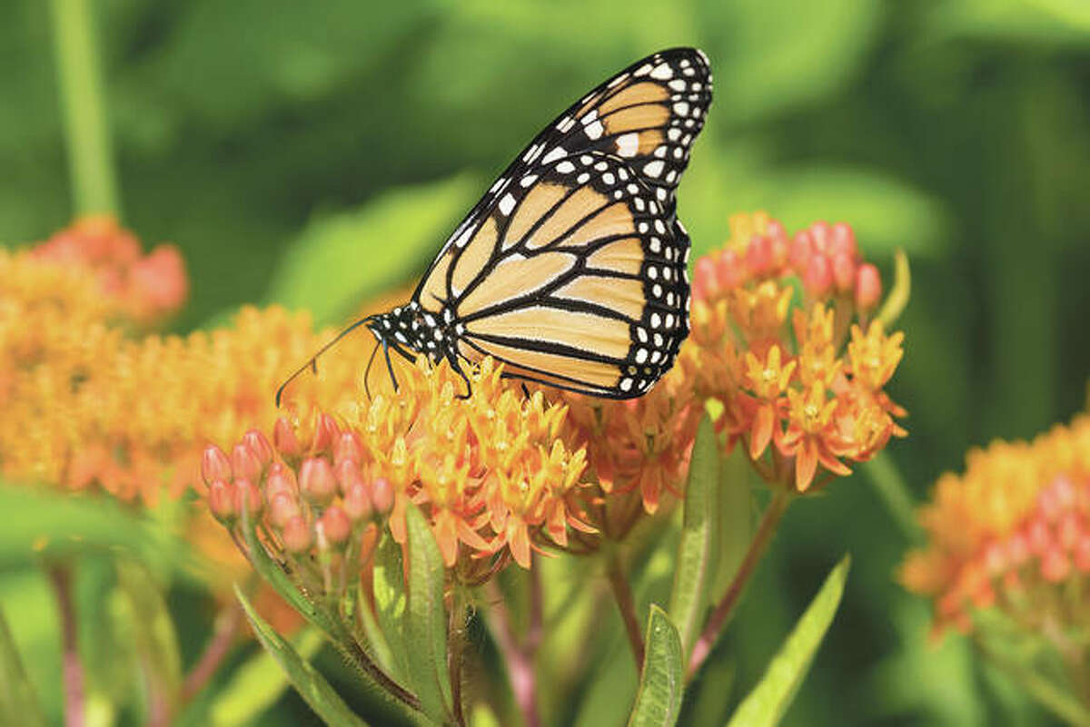 A butterfly feeds on milkweed.