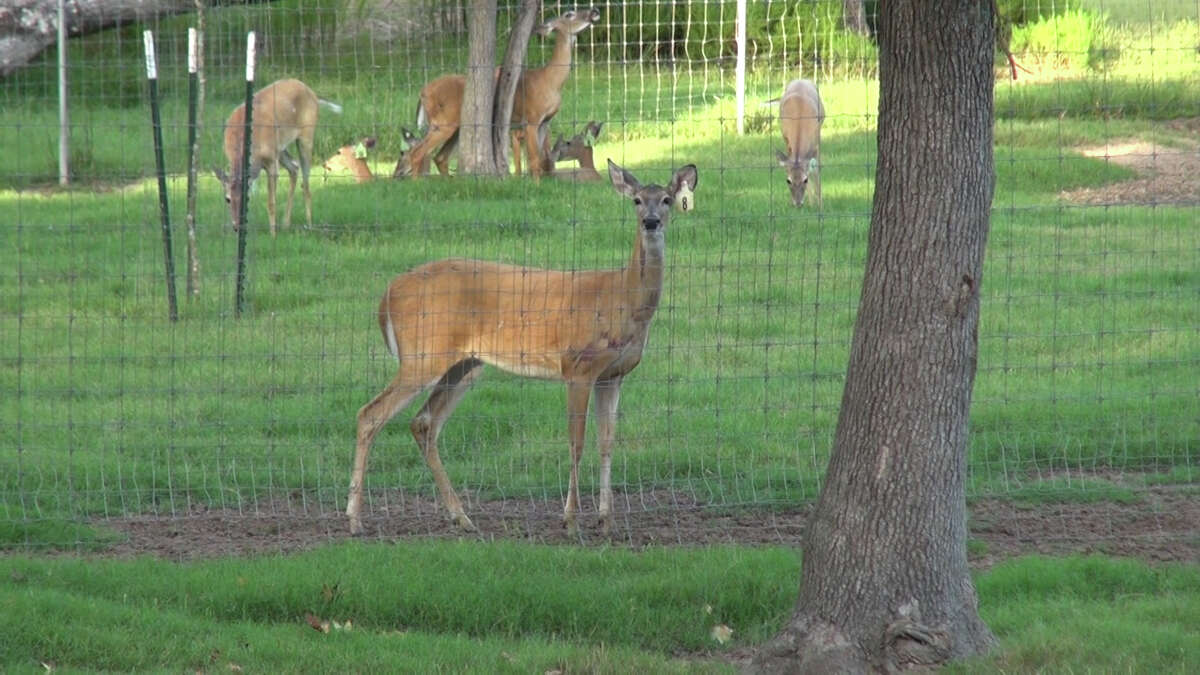 A Porter rancher said a pack of dogs on Thursday night attacked a pen of deer on his property, killing dozens, according to the Montgomery County Police Reporter.