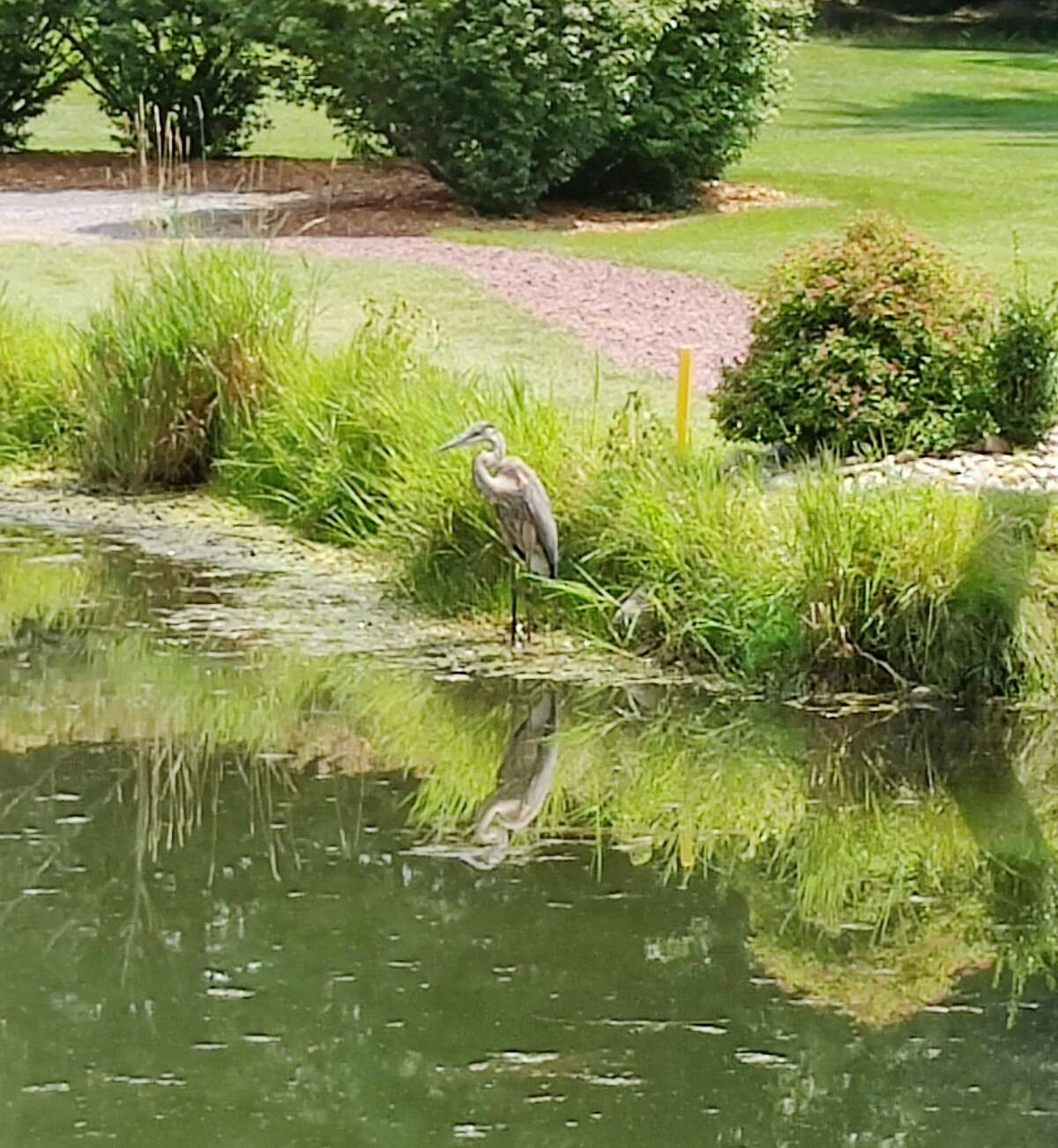 """This heron was watching the golfers, notes Catherine Black, who hopes he wasn't judging the shots. """"Later, he flew off and found a friend and they soared above the course for a long time,"""" she says."""