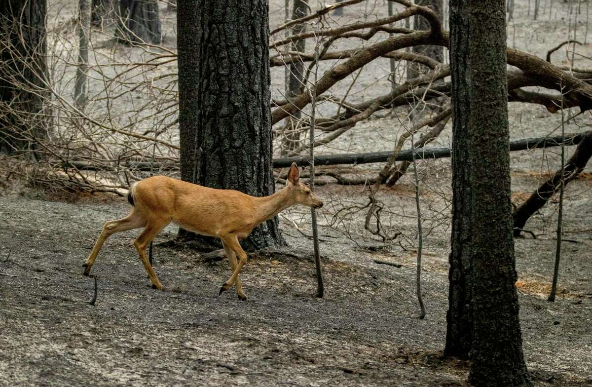 A deer walks in the ashes left by the Caldor Fire, which burned through Grizzly Flats (El Dorado County).