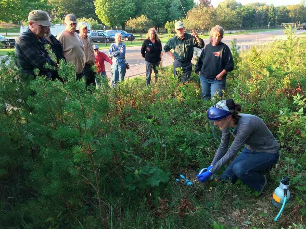 The Northewest Michigan Invasive Species Network is hosting an online seminar on the Invasive Fall Olive.  (Courtesy photo)