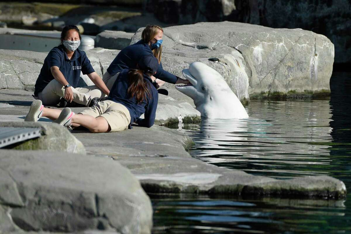 In this file photo, Mystic Aquarium trainers play with a Beluga whale in Mystic. One of five beluga whales acquired from an aquarium in Canada after a legal fight with animal rights activists has died at its new home in Connecticut.