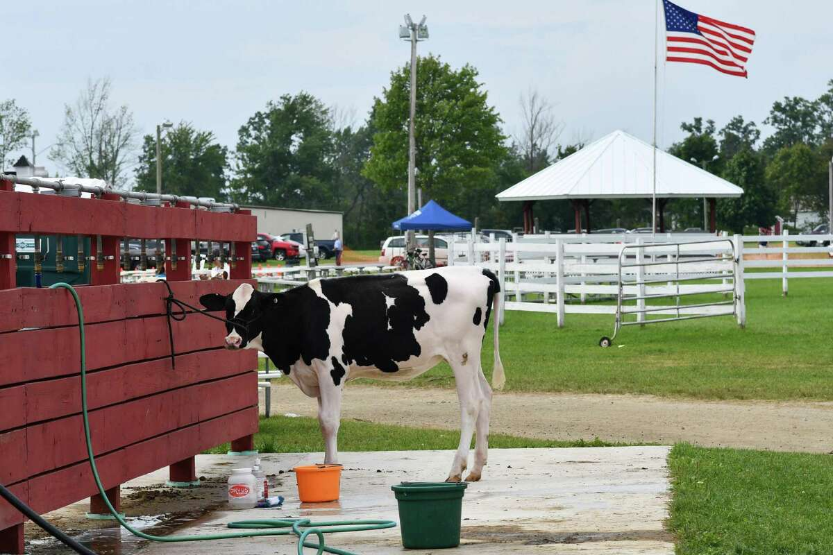 The Litchfield County 4H Fair was held Saturday and Sunday at the Goshen Fairgrounds, where this heifer waits for her bath.