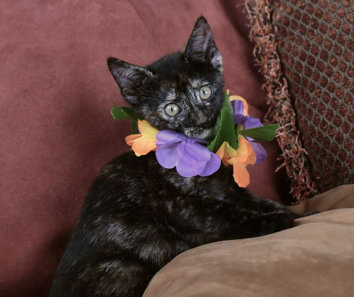 Adoptable cats from Kauai Humane Society are coming to Seattle.
