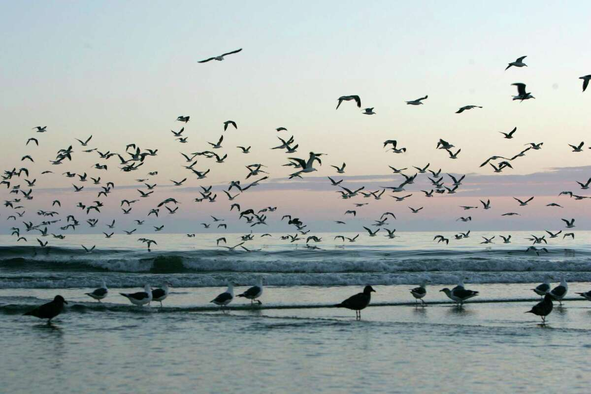 Seagulls gather along the waters edge at Venice Beach in Half Moon Bay, where human remains were recently found.