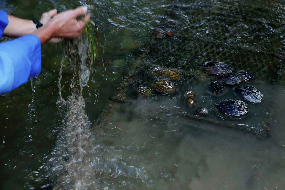 Mussels rest on the side as Shaun Donovan, environmental sciences manager at the San Antonio River Authority, removes silt from a cage in the river's Mission Reach on Monday, Aug. 23, 2021.